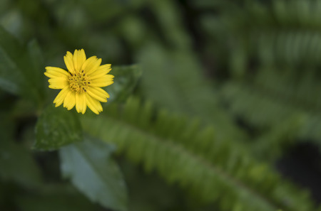 One yellow flower in green blur background. Sphagneticola trilobata or Wedelia. Stock Photo