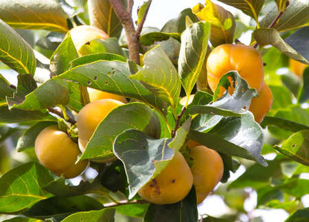 persimmon tree: Persimmon tree and bright orange persimmons contrast beautifully with their green leaves  It Stock Photo