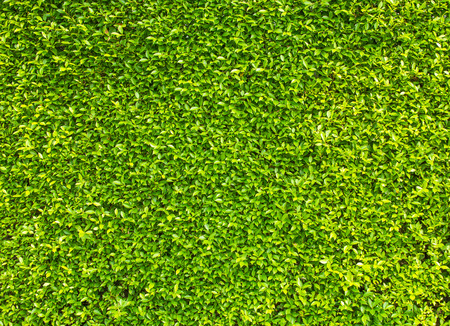 green box hedge background with green leaves Stock Photo