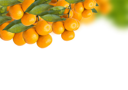 Bunch of ripe oranges hanging on a tree photo
