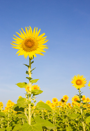 sunflowers at the field in summer, Thailand photo