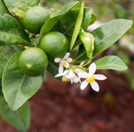 green lemon - lemon tree -limes - lime tree Stock Photo