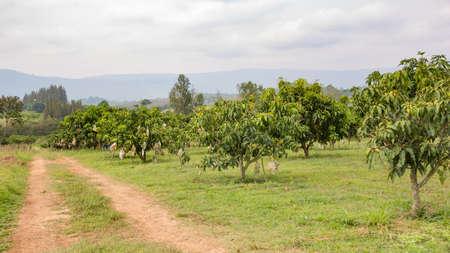 orchards: Plantation of mango trees on the orchards Stock Photo