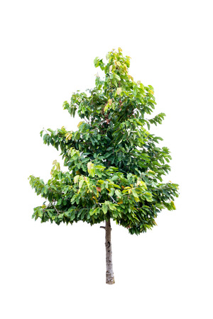 greenness: Single young tree with green leaves isolated on white background