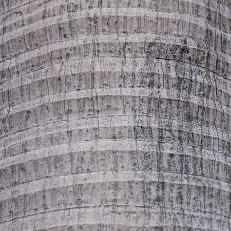bark palm tree: Background of palm tree bark texture