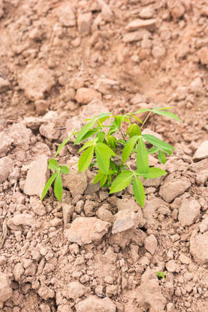 glutamate: Cassava cuttings plug in the soil. Agriculture of Thailand