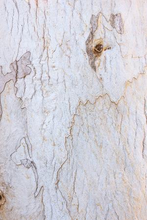 eucalyptus tree: Eucalyptus tree bark texture background
