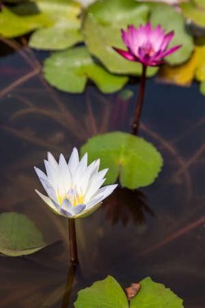 pond: waterlily in pond