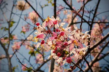 resemble: Wishing Tree, Pink Showe, Cassia Bakeriana Craib, Beneath a tree flowering pink resemble sakura. Vintage tone style. Stock Photo