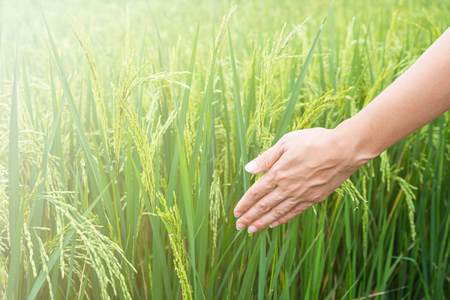 womans hand touching the green rice fields.