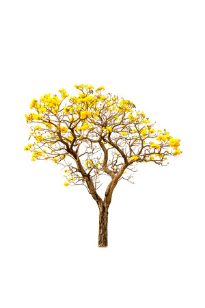 isolated on yellow: Yellow flowers tree, tabebuia isolated on white background