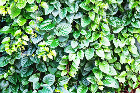 watercolour: Watercolour painting of green leaves wall background. Stock Photo