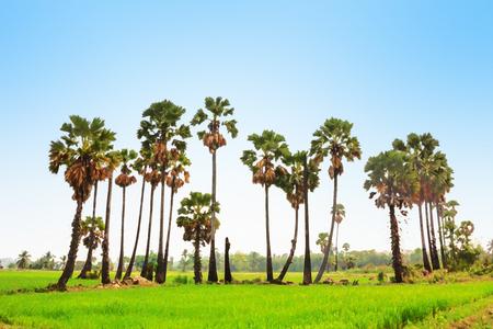 palmtree: Watercolour painting of sugar palm tree on rice field background. Stock Photo