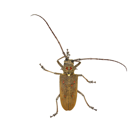 chitin: Weaver Beetle Beetle isolated on white background