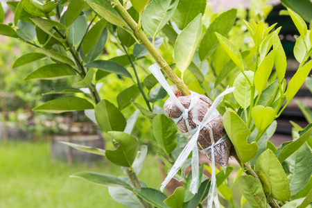 tissues: Close up of air layering plant, Lime tree.