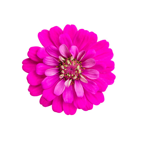 yellow stamens: Pink zinnia flower isolated on white background Stock Photo