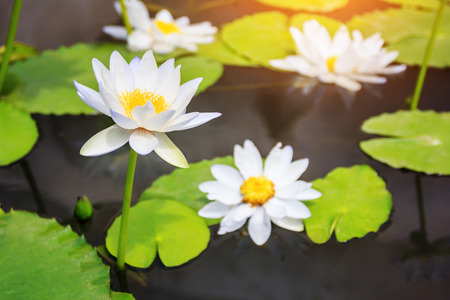 Beautiful white lotus in the pond background.