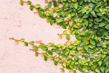 Green ivy leaves on cement wall background. Stock Photo