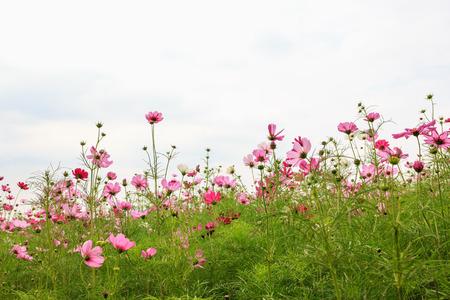 ジム ・ トンプソン ファーム、タイで美しいピンク コスモス園。 写真素材