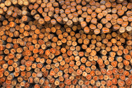 Eucalyptus tree background, Pile of wood used for industry. Stock Photo