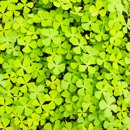 creeping oxalis: Wood sorrel on the ground in the forest