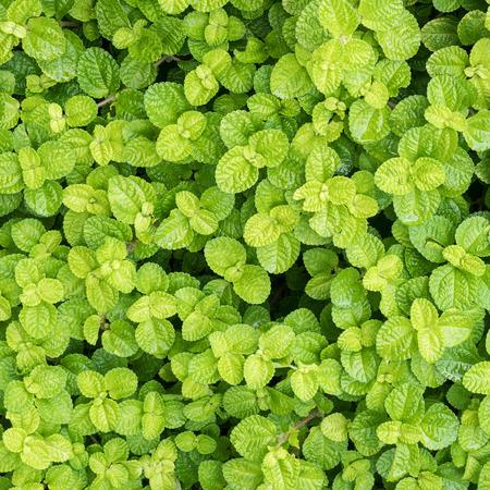Fresh green mint leaves background. Stock fotó - 88597123