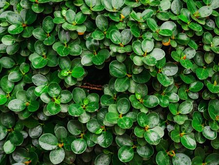 Les feuilles vertes texture de mur et fond. Banque d'images - 91899350
