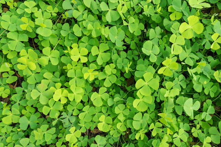 Wood sorrel on the ground in the forest
