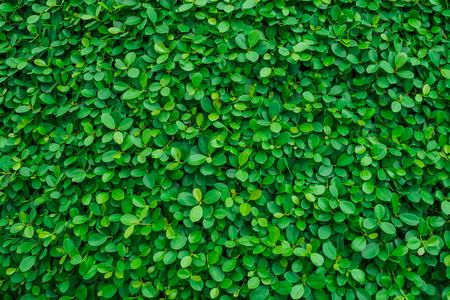 Achtergrond en textuur van groene bladeren natuurlijke muur.