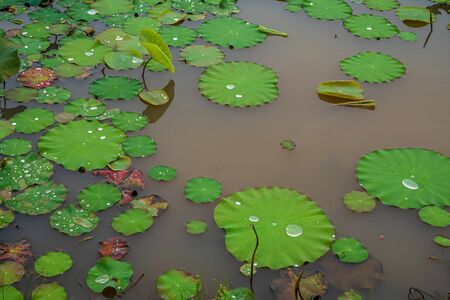 Green lotus leaves in the lake.