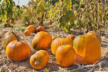 corn flower: Pumpkin Patch in Farm Field in Oregon Stock Photo