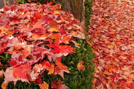 Fallen Maple Tree Leaves on Backyard Garden Shrubs in Autumn