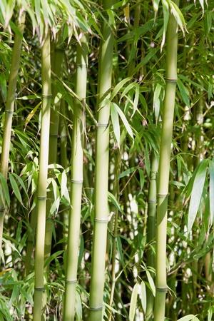 forest tea: Bamboo Forest at Japanese Tea Garden in San Francisco Golden Gate Park Stock Photo