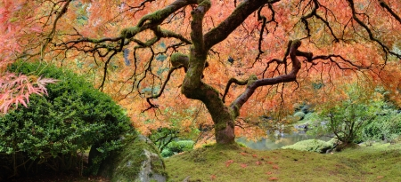 azalea: Old Japanese Maple Tree at Public Garden in Autumn Panorama