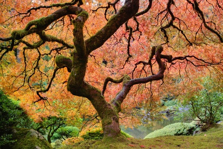 japanese maples: Old Japanese Maple Tree at Japanese Garden in Autumn Stock Photo