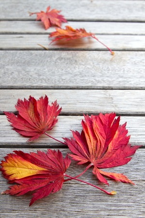 japanese maple: Fall Japanese Maple Leaves on Wooden Bench Background Stock Photo