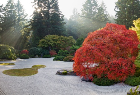 japanese maples: Sun Beams at Japanese Flat Sand Zen Garden on Fall Afternoon