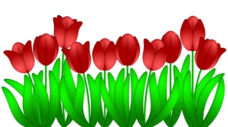 Row of Red Tulips Flowers in Spring Illustration Isolated on White Background Stock Illustration - 11585712