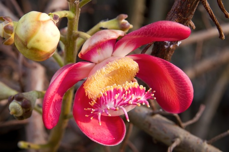 Cannonball Tree Fragrant Flower Bloom photo
