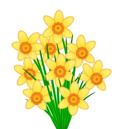 day nursery: Yellow Daffodil Spring Flowers with Orange Center Bunch Illustration Isolated on White Background Stock Photo