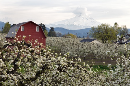 mt hood: Red Barn in Pear Orchard in Hood River Oregon in Spring Stock Photo