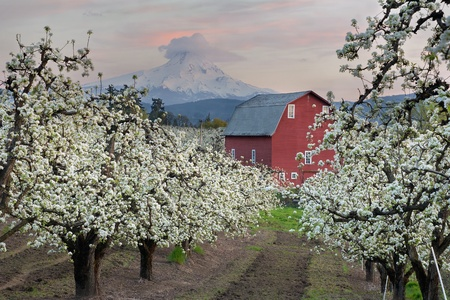 Red Barn in Pear Orchard in Hood River Oregon at Sunset photo
