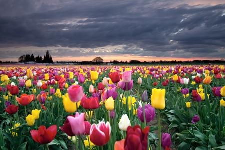 カラフルなチューリップの花のオレゴン州春に咲くファーム フィールドに沈む夕日