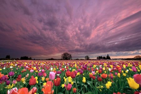 bulb tulip: Sunset Over Farm Field of Tulip Flowers Blooming in Oregon in Springtime