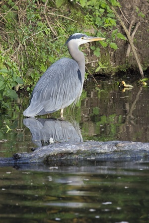 Great Blue Heron Standing in Water of Wetlands in Oregon photo
