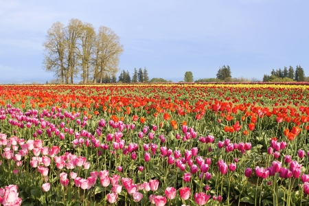 Colorful Flowers Blooming in Tulip Field in Springtime with Clear Blue Sky Stock Photo - 13647341