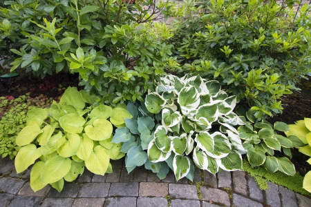 mollis: Variety of Hostas Plants and Shrubs Along Garden Brick Path Walkway Stock Photo