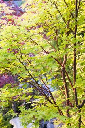 赤いサンゴ樹皮レース葉メープル ツリー 写真素材