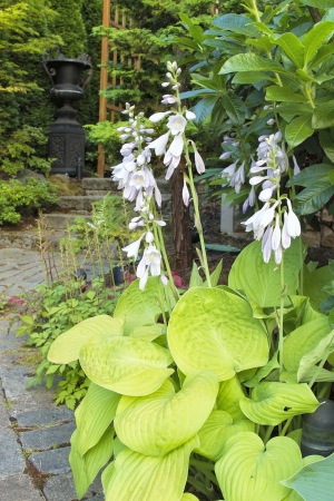 Hostas with Flowers Blooming Along Garden Path Walkway Stock Photo - 14518320