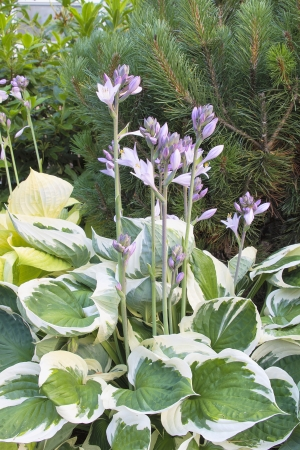 Hostas with Flower Blooming with Variegated Leaves in Springtime photo